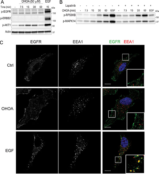 OHOA does not activate or internalize the EGFR.
