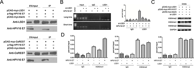 The effect of LSD1 and HPV16 E7 gene modulation on epigenetic change on the Viemntin promoter.