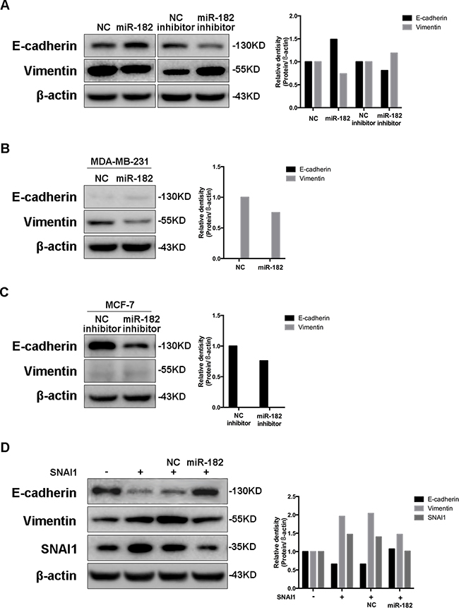 miR-182 enhances an epithelial-like state in breast cancer cells.