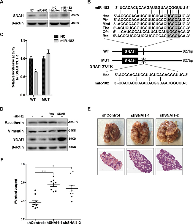 SNAI1 is a direct and functional target of miR-182.