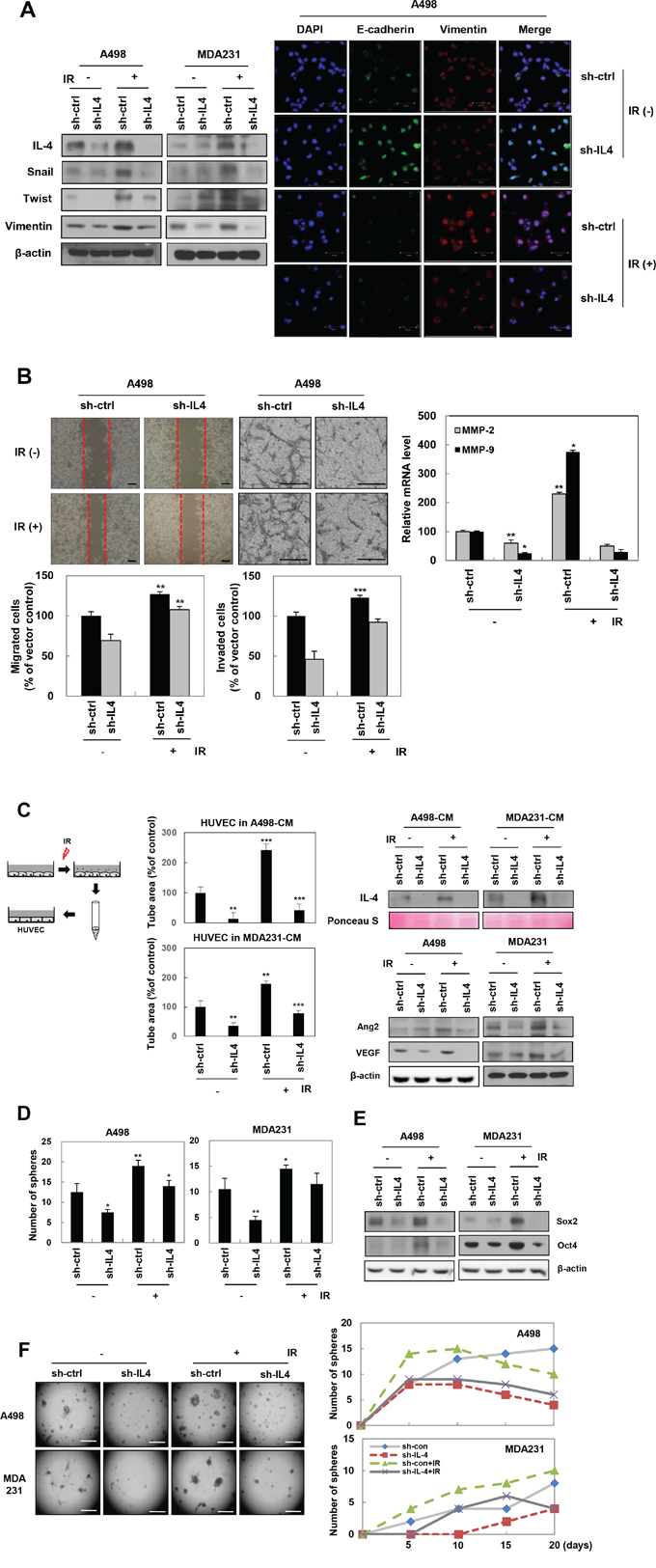 IL-4 is involved in IR-induced EMT, migration, invasion, angiogenesis, and stemness maintenance in human cancer cells.