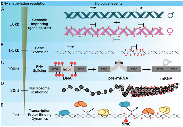 Optimizing the DNA methylation resolution according to a biological context.