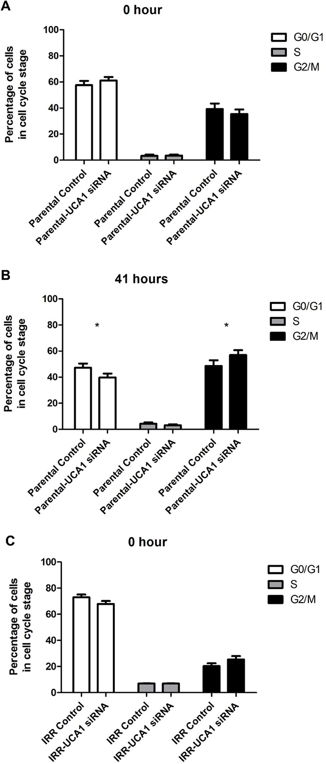 UCA1 depletion disrupts cell cycle progression and induces cell cycle arrest at the G2/M transition.