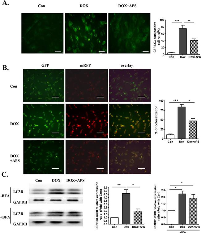 APS restores autophagy in doxorubicin-treated cardiomyocytes.