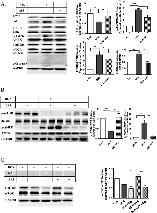 APS attenuates doxorubicin-induced heart injury by regulation of the phosphorylation of AMPK/mTOR.