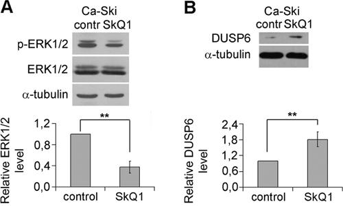 Inhibition of ERK1/2 phosphorylation (activation) and upregulation of DUSP6 expression by SkQ1 in Ca-Ski cells.