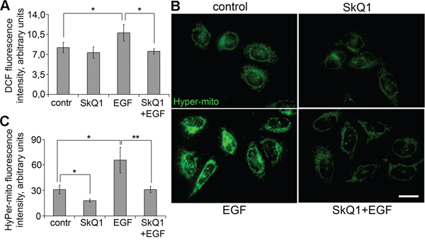 SkQ1 prevented accumulation of cytoplasmic and mitochondrial ROS induced by EGF in SiHa cells.