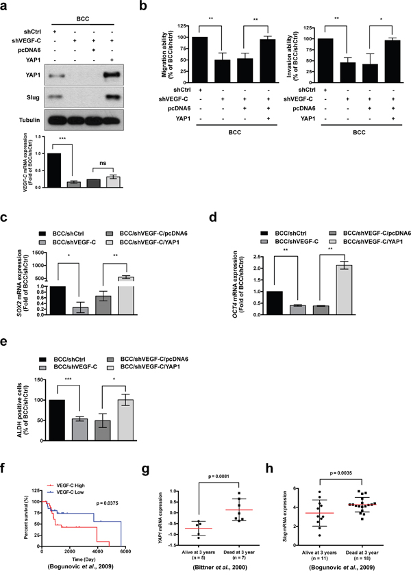 VEGF-C increases Slug expression, cell migration, invasion and stemness through YAP1.