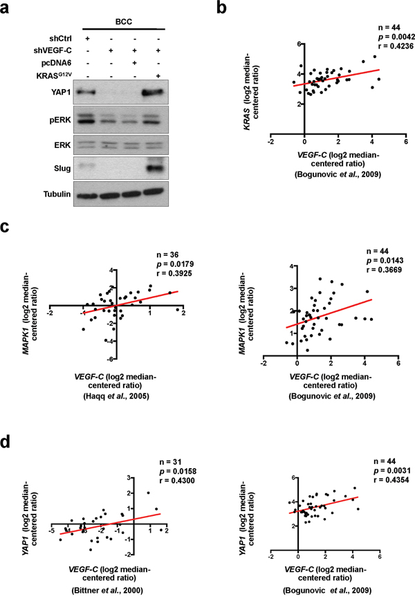 YAP1 is regulated by VEGF-C via the RAS/MAPK pathway.