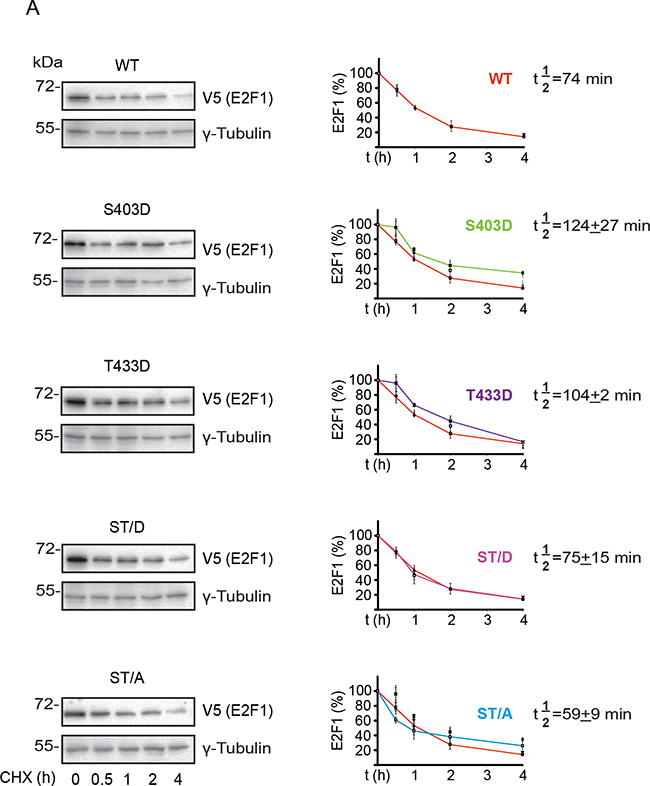 S403 and T433 regulate E2F1 protein half-life in differentiated keratinocytes.