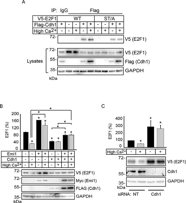 Cdh1 interacts with E2F1 and promotes its degradation in differentiating keratinocytes.