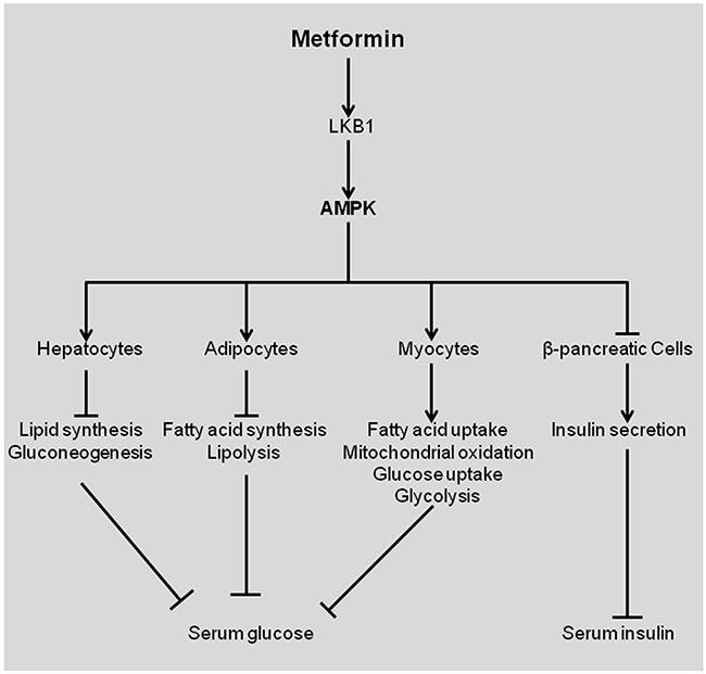 Effects of metformin in patients with diabetes type 2.