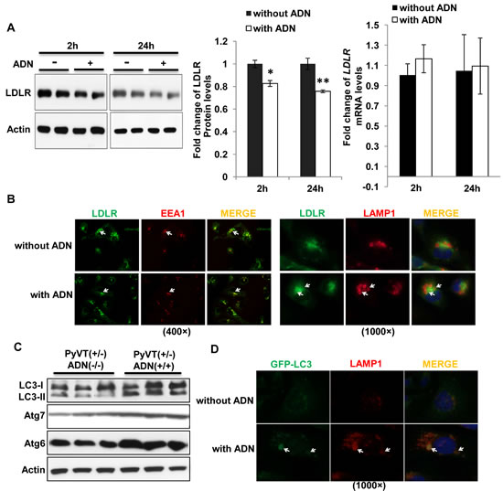 Adiponectin promoted trafficking of the LDLR to lysosome for degradation through increasing autophagosome formation.