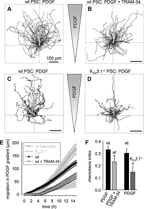 Chemotaxis of primary murine stellate cells towards PDGF is attenuated by KCa3.1 channel inhibition.