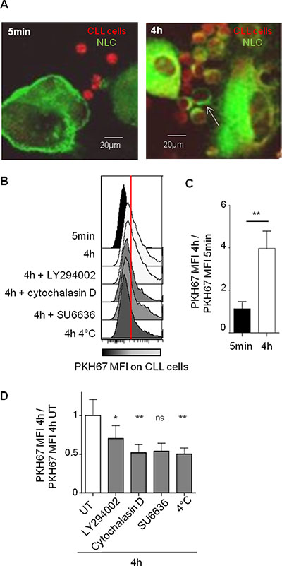 Strong and specific interactions between NLC and CLL cells are dependent on actin polymerization and on PI3K.