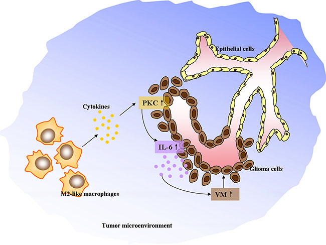 The schematic diagram depicting M2-like tumor-associated macrophages driving VM formation through amplification of IL-6 expression in glioma cells via PKC signaling.