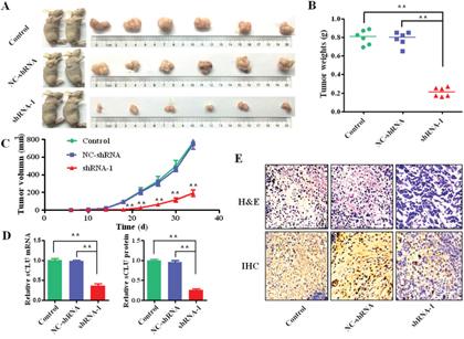 Intervening sCLU gene transcription on effect of xenograft growth.