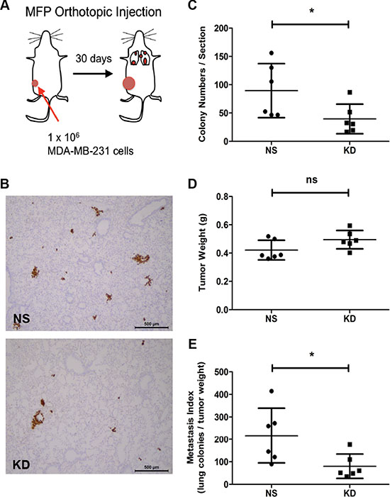 Oncotarget   The matricellular protein CYR61 promotes breast cancer