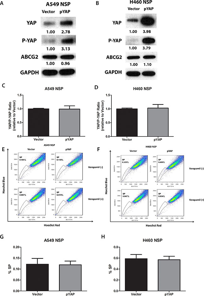 Overexpression of YAP1 does not increase ABCG2 expression and the percentage of SP cells in purified A549 and H460 non-SP cells.