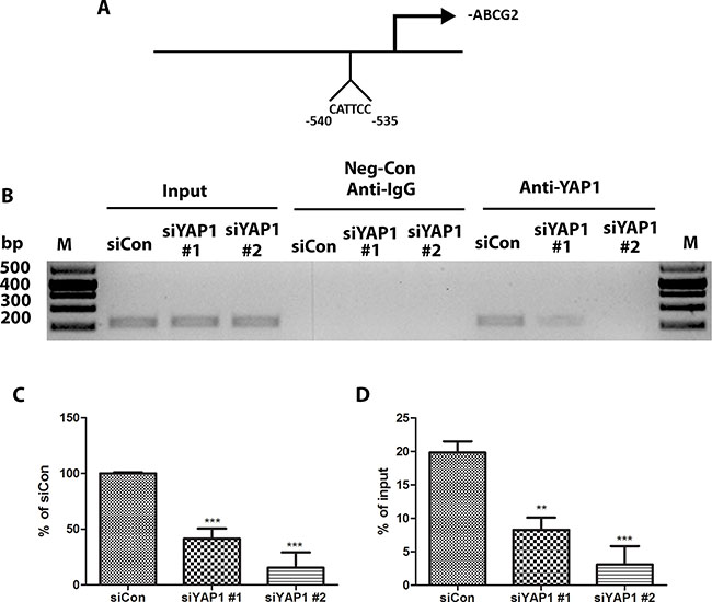 YAP1 regulates ABCG2 at the transcriptional level through binding to the promoter of ABCG2.