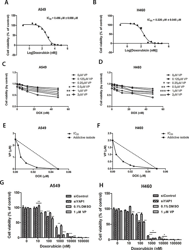 Figure 7:Cell viability analysis of A549 and H460 cells treated with increasing concentrations of doxorubicin combined with different concentrations of verteporfin or with siYAP1 treatment.