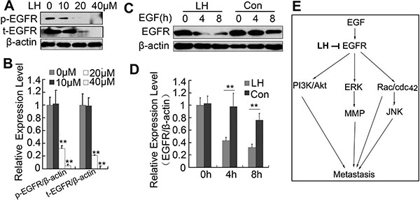 LH promotes the degradation of EGFR.