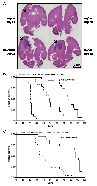 Intracranial tumor growth is enhanced by COX-2 and Id1.