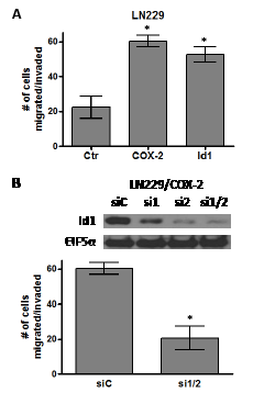 COX-2 overexpression promotes glioma cell migration through Id1.