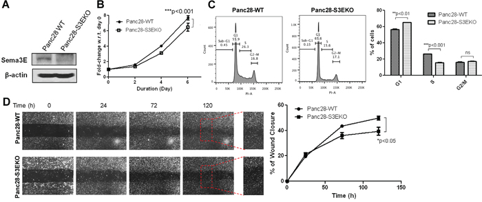 Knockout of Sema3E in a PDAC cell line decreases cell growth and proliferation, as well as cell migration.