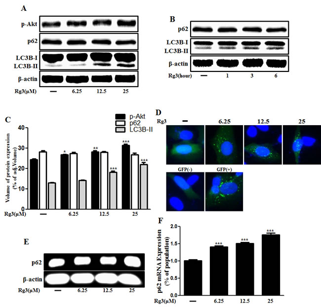 Rg3 increases the conversion to LC3B-II and autophagosomes in neuronal cells.