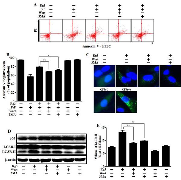 Rg3 protects neuronal cells via autophagic pathway.