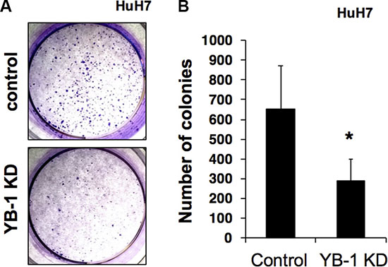 YB-1 KD HCC cells reduced colony formation ability.