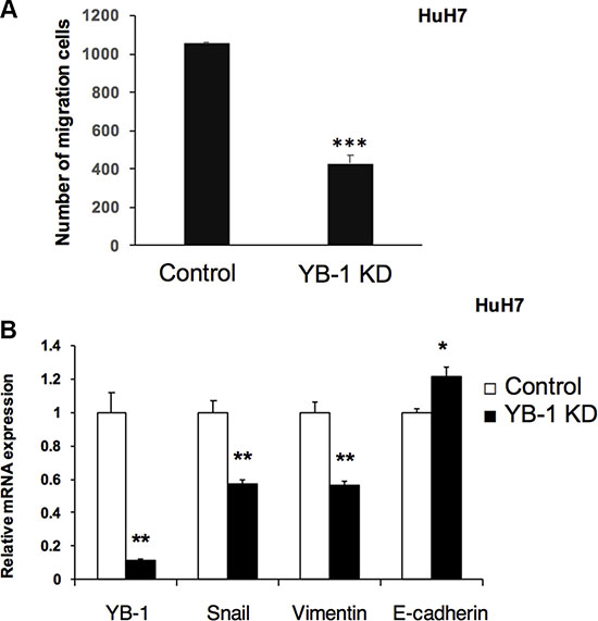 YB-1 Knockdown HCC cells decreased migration ability.
