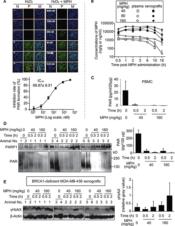 Pharmacodynamic biomarker analyses reflecting the in vitro and in vivo activities of MPH.