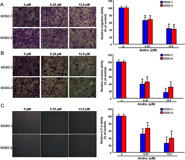 Anti-oncogenic effect of andrographolide in OCSCs Representative images (left) and quantification (right) of