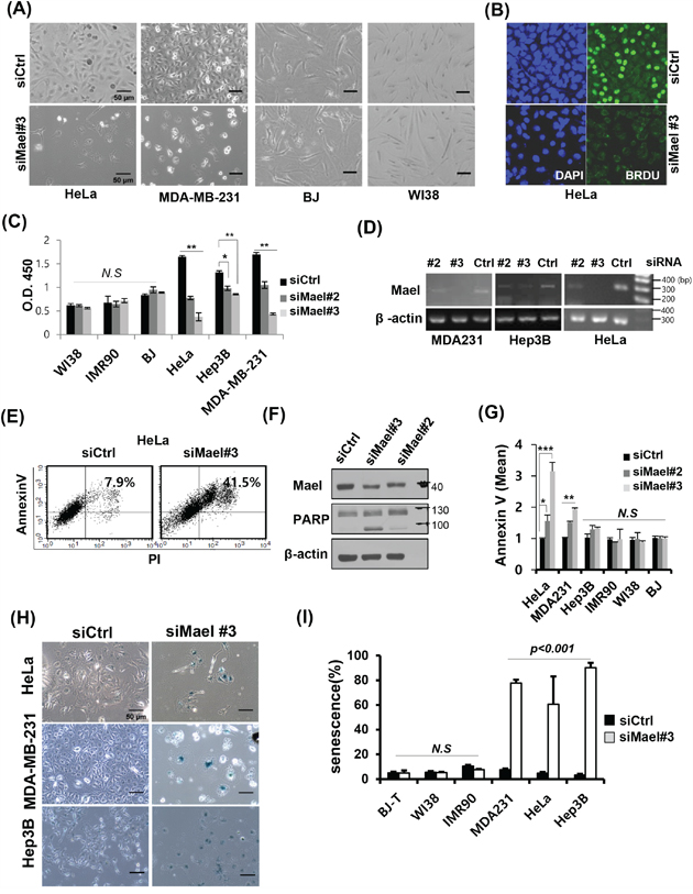 Mael depletion induces cancer cell-specific apoptosis and senescence.