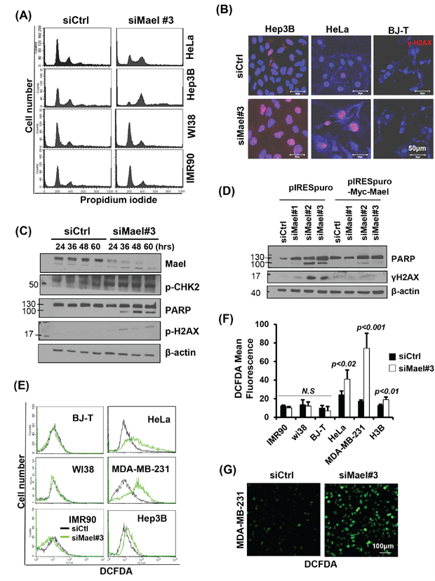 Mael depletion induces spontaneous DNA damage and ROS production in cancer cell lines.