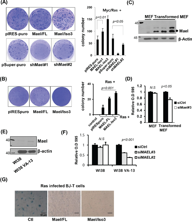Mael is essential for Myc/Ras-induced transformation and suppression of oncogenic Ras-induced senescence.