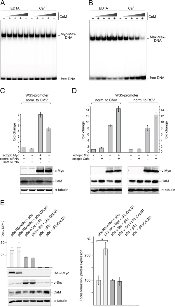 Effect of CaM on DNA binding, transcriptional activity, and transforming potential of Myc.