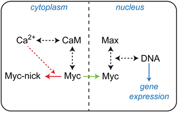 Basic diagram of interconnections between Myc and Ca2+/CaM signaling.