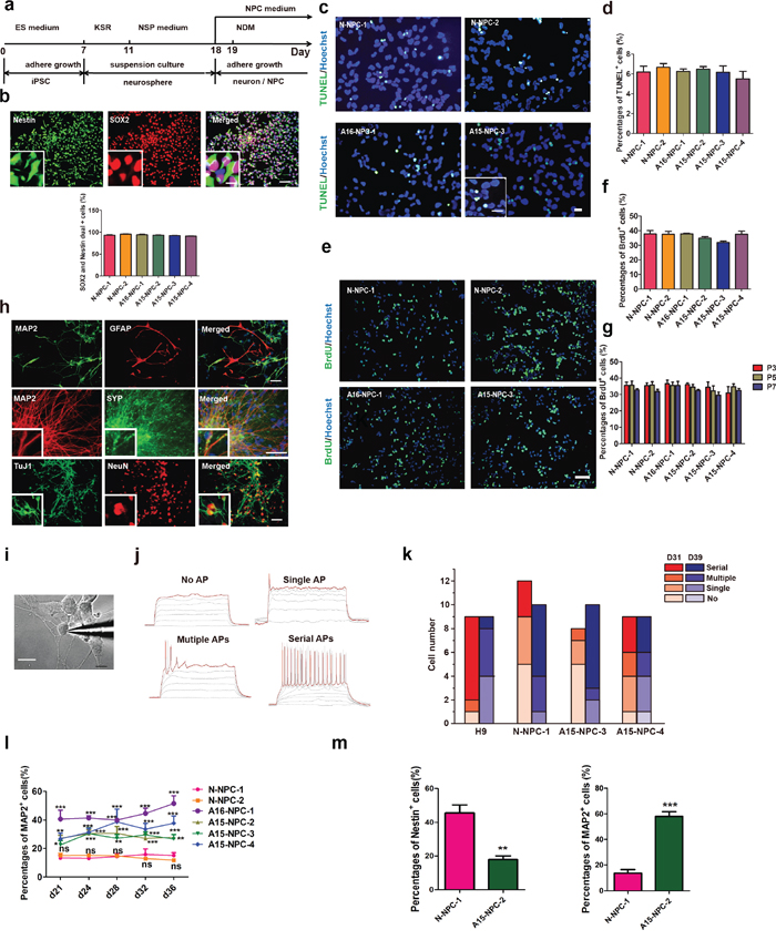 Neural differentiation and characterization of iPSCs.