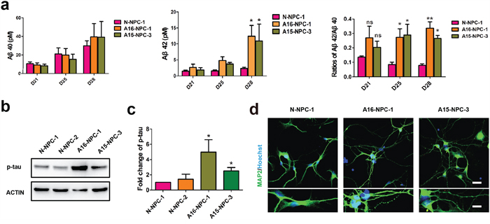 Typical AD pathological changes and degenerating neurons are observed in neuronal differentiation of AD-NPCs.