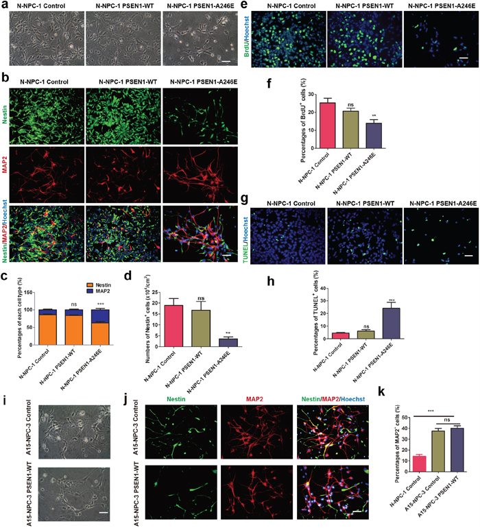 PSEN1-A246E is responsible for the abnormal neuronal differentiation phenotype.