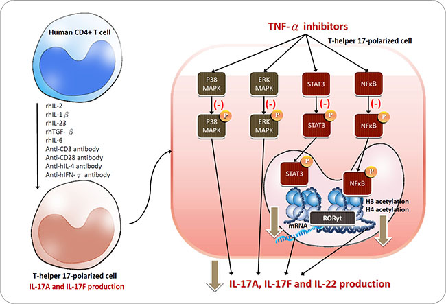 Schematic of the proposed intracellular mechanisms underlying TNF-α inhibitor regulation in Th17 cells polarized from CD4+ T cells.