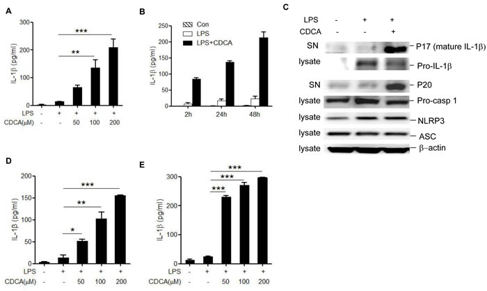 CDCA induces mature IL-1β secretion and caspase-1 activation in macrophages.