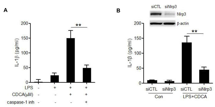 CDCA promotes the secretion of mature IL-1β in a NLRP3-dependent manner.