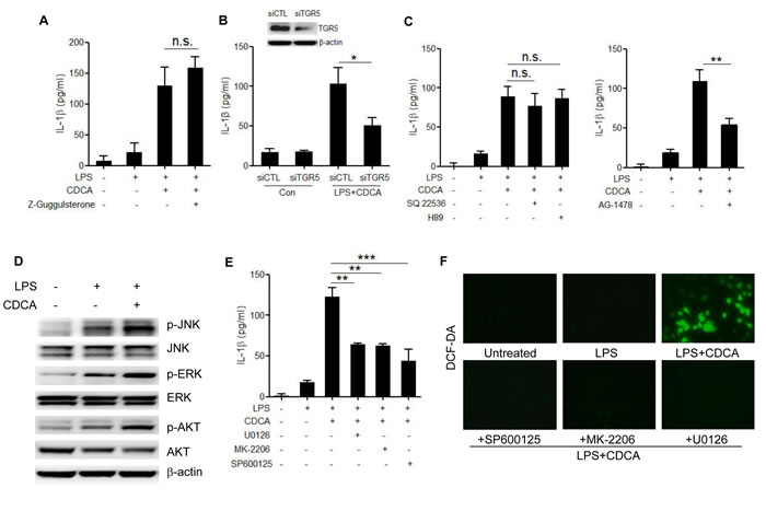 TGR5/EGFR signaling contributes to the CDCA-induced ROS production and IL-1β secretion.