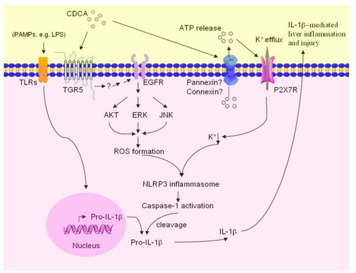 Proposed model of CDCA-induced NLRP3 inflammasome activation and liver injury.