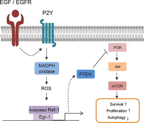 A model of EGF-induced signaling in lung cancer cells.
