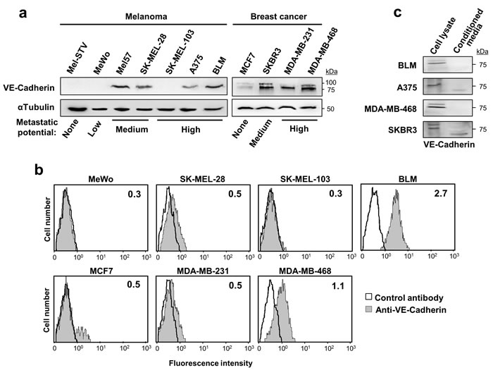 VE-cadherin is expressed in melanoma and breast cancer cell lines.